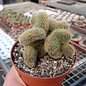 Cleistocactus variispinus     cristata