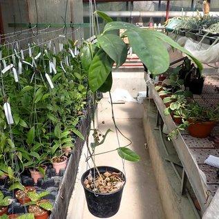 Hoya campanulata