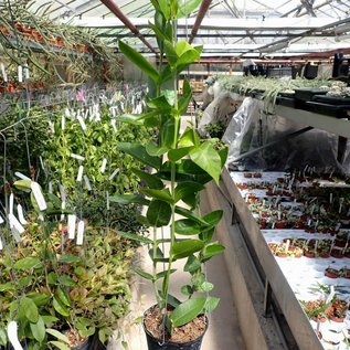 Hoya densifolia cv. Dark Corona
