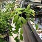 Hoya halophila