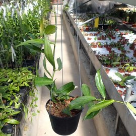 Hoya lamingtonia (rubida) PNG 4