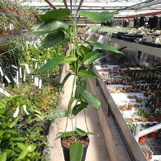 Hoya macgillivrayi   Taiwan