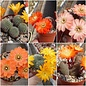 Offer of the Month Rebutia