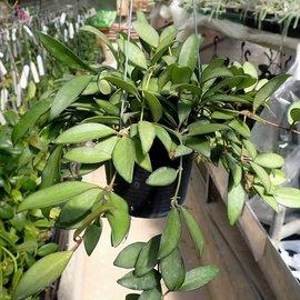 Hoya cv. Rosita (wayetii x tsangii)