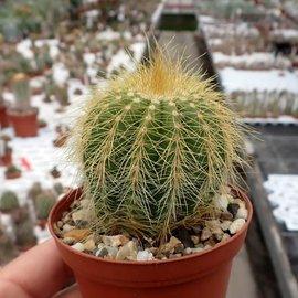 Notocactus warasii