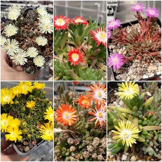 Offer Delosperma (dw)