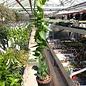 Hoya densifolia cv. Green