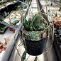 Hoya imbricata maxima