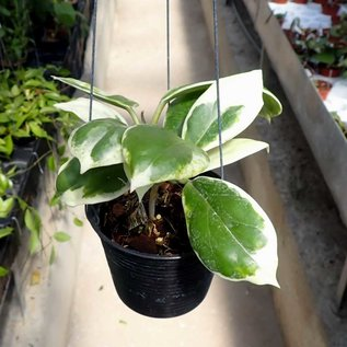 Hoya incrassata cv. Albomarginata