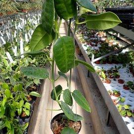 Hoya obtusifolia cv. Green Flower