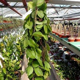 Hoya pubicalyx x fungii