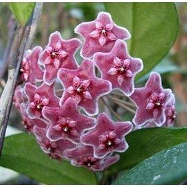 Hoya carnosa cv. Red Flower