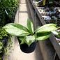 Hoya incrassata cv. Variegata