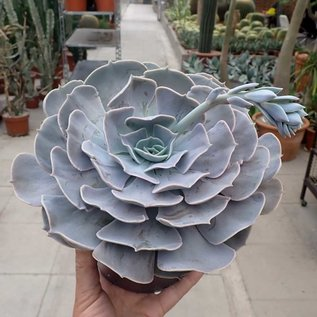 Echeveria-Hybr. Pollux