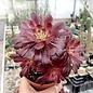 Aeonium cv. Mardi Gras