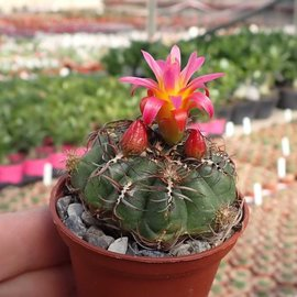 Oroya peruviana v. minima