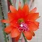 Disocactus spec.  WK 399 Laguna Verde bei Apaneca, El Salvador
