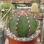 Melocactus matanzanus mit Cephalium