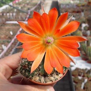 Echinocereus spec. Texas aff. enneacanthus