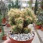 Cereus peruvianus monstruosus