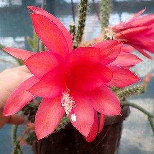 Aporophyllum-Hybr. Hazel
