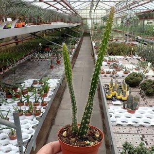Aporophyllum-Hybr. Bolduan