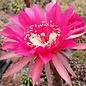 Echinopsis-Hybr. Impulse (Schick) x rot