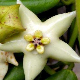 Hoya coronaria cv. White Flower