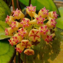 Hoya joy x jennifer  cv. Small