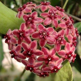 Hoya lamingtonia (rubida) PNG 004