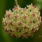 Hoya mindorensis cv. Yellow Flower