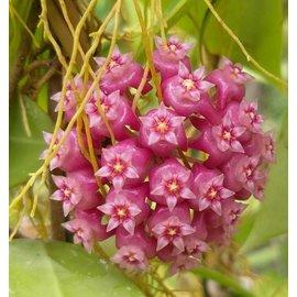 Hoya parasitica n ° 01