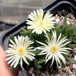 Delosperma cv. Amelie       (dw)