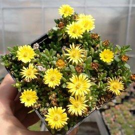 Delosperma nubigenum Nanum       (dw)