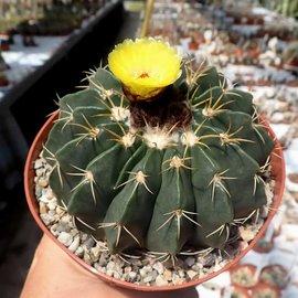Notocactus erinaceus