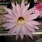 Echinopsis oxygona  FR 1291 Ponta Pora, Dourados, SE Mato Grosso do Sul, BR, 755 m / 2477 ft
