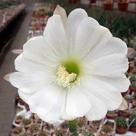 Echinopsis obrepanda v. frankii