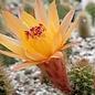 Hildewintera aureispina-Hybr. Humkes kleine Gelbe