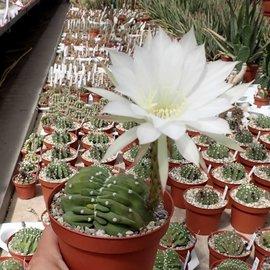 Echinopsis subdenudata       cristata