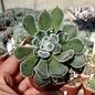 Echeveria pulvinata cv. Fleurizon