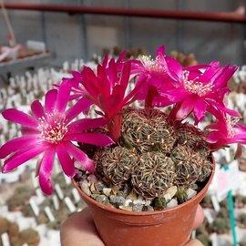 Sulcorebutia callichroma v. callichroma HS 078 Presto, Chuquisaca, Zudanez, Bolivien, 2750 m, bis 2019 noch als pulchra bezeichnet