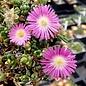 Delosperma nubigenum cv. Pinky      (dw)