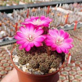 Sulcorebutia tarabucoensis f. minima