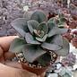Echeveria-Hybr. Chroma