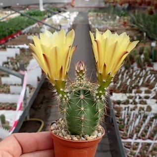 Echinocereus subinermis v. ochoterenae