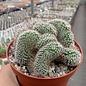 Mammillaria bombycina     cristata