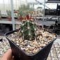 Echinocereus triglochidiatus v. gurneyi HK 1064 S. Marathon, Brewster County, Texas, USA    (dw)