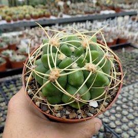 Gymnocalycium monvillei  BOS 052 El Durango