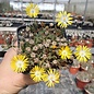 Delosperma cv. Luna       (dw)