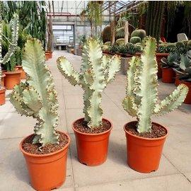 Euphorbia ingens cv. Marmorata verzweigt